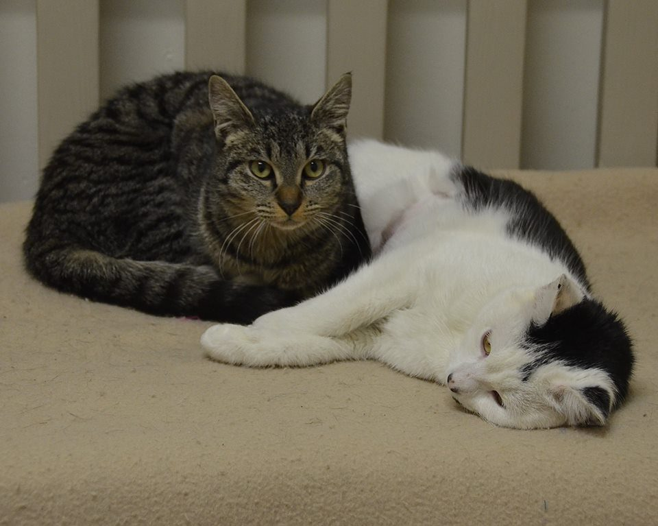 Kirby and Fontana - Available at BVSPCA West Chester