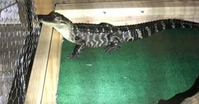 Brandywine Zoo Cares For Gator Seized In Drug Bust